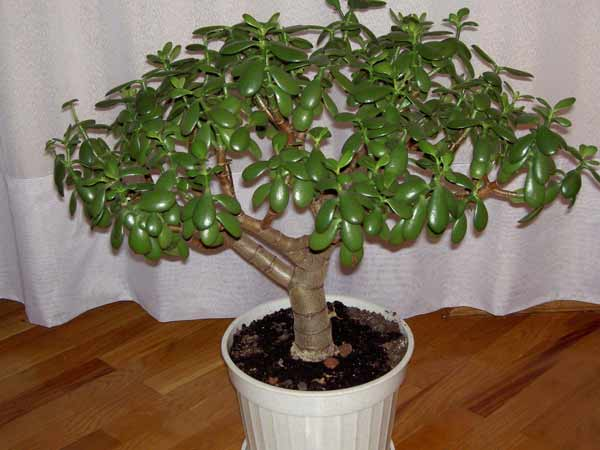 Как посадить денежное дерево с